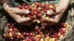 La producción de café caería hasta un 30% en este año - Noticias de oic
