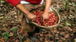 """Centroamérica: Roya es una """"tormenta perfecta"""" que haría caer el café en el 2013-2014 - Noticias de nils leporowski"""