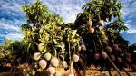 Frutas Piuranas diversifica envíos con palta y banano orgánico - Noticias de empresarios