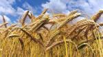 Producción nacional de trigo creció 1.8% entre el 2008 y 2013 - Noticias de farinaceos