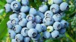 Sierra Exportadora: Perú espera alcanzar 1,500 hectáreas sembradas de arándanos este año - Noticias de felipe rosas