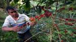Minagri destinó S/. 117 millones para la renovación de cafetales de Selva Central - Noticias de pichanaki