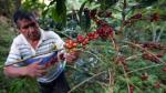 Productores de café perderán S/. 400 millones por caída de cosecha en 23% - Noticias de anner roman neira