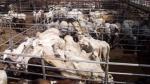 Delegación de seis empresas de ganadería colombiana explorarán negocios en Perú - Noticias de juliana villegas