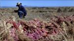 Grupo Orgánico Nacional triplicará producción de quinua - Noticias de quinua