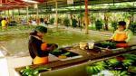 Producción peruana de banano y plátano crecería 2.6% en el 2015 - Noticias de peruanos en estados unidos