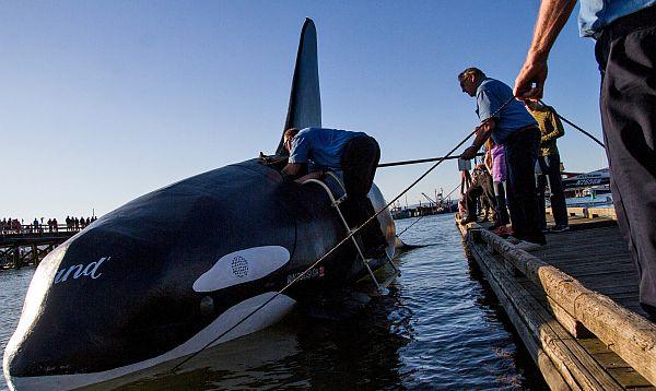Una orca falsa naufraga antes de asustar a leones marinos - Noticias de jim knight