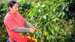 Se exportaron 7,141 quintales de café orgánico de Amazonas en segundo trimestre - Noticias de bagua grande