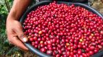 Empresa de Junín realizará su primer envío de 60 quintales de Cherry Coffee a China - Noticias de sierra peruana