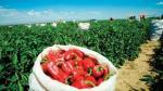 Exportación de capsicum a EE.UU. generaría más de US$ 150 millones en cinco años - Noticias de sociedad agrícola virú