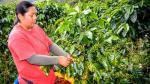 Cooperativas de productores participan con el 23% de los ingresos por exportaciones de café - Noticias de pichanaki