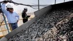 Pesca de anchoveta llegó a cerca de 800,000 toneladas en segunda temporada - Noticias de bahia punta salinas