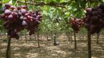 Uvas baratas y peso débil hacen de viña chilena Concha y Toro una favorita - Noticias de vina concha