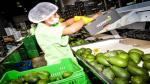 Primer despacho de palta Hass peruana valorizado en casi US$ 34,000 llega a Holanda - Noticias de sierra peruana