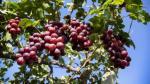 Diez países adquieren el 87% de uvas frescas que exporta el Perú - Noticias de tailandia 2013
