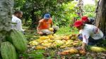 El 40% del cacao peruano exportado tiene valor agregado, señala Sierra Exportadora - Noticias de sierra peruana