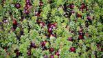 Arándano sería la tercera fruta más exportada en el 2017 - Noticias de alfonso velasquez