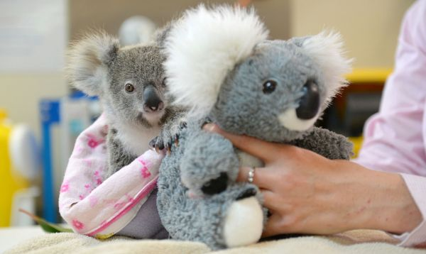 Koala huérfano encuentra consuelo en un peluche en Australia - Noticias de steve irwin