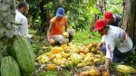 Perú lidera aumento de producción de cacao en América Latina - Noticias de laurent pipitone