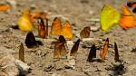 Sernanp: Más de 150 especies de mariposas se registran durante inventario en Parque Nacional Sierra del Divisor - Noticias de fauna silvestre
