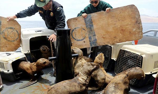 Devuelven a nueve leones marinos huérfanos frente a las Islas Palomino - Noticias de callao