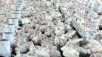 Precio del pollo en pie sube más de 20% tras cinco meses de caída - Noticias de jorge gonzalez izquierdo