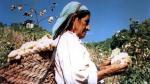 Algodoneros descontentos: Exigen mejores incentivos por buenas prácticas agrícolas - Noticias de importaciones peruanas
