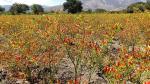 Exportación de pasta de ají tabasco de Cajamarca sumó los US$ 650 mil el 2016 - Noticias de sierra andina