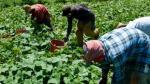 Una vida de sacrificio: los campesinos mexicanos que hacen la cosecha en EE.UU. - Noticias de luis hernandez