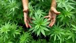 Israel aprueba la exportación de cannabis medicinal - Noticias de philip morris
