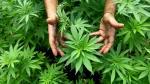 Resumen semanal: legalizarían uso medicinal del cannabis y Viva Air Perú detalla costo de pasajes - Noticias de resumen económico semanal