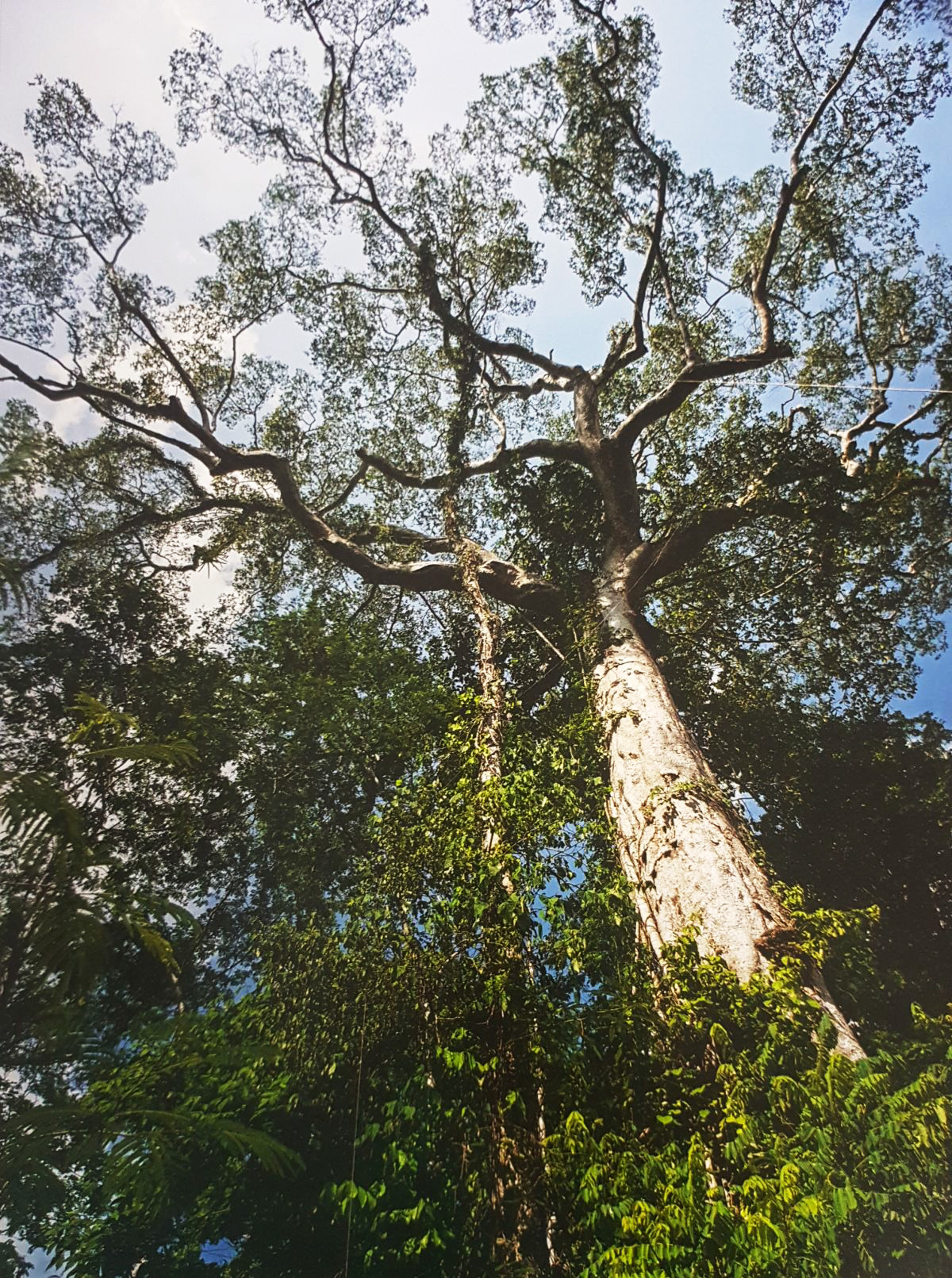 Cuántas especies de árboles se encuentran en la selva peruana ...
