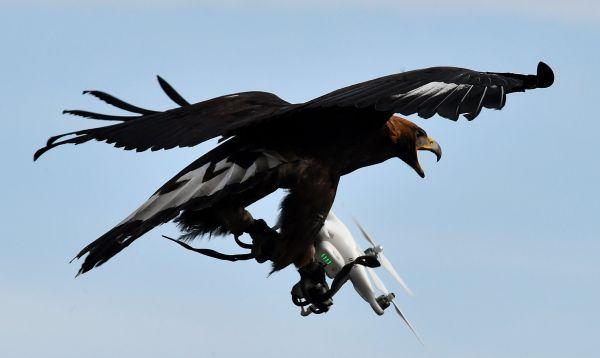 La Fuerza Aérea Francesa entrena águilas para atrapar drones